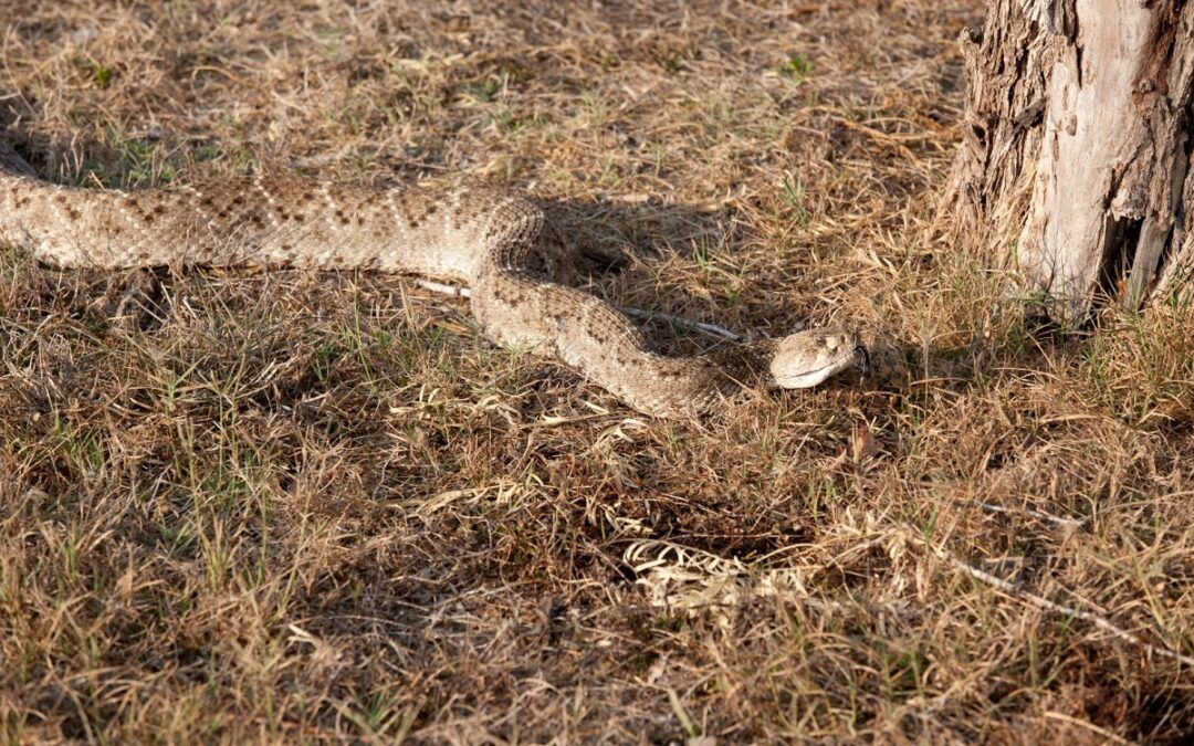 The Secret to Removing a Rattlesnake Safely From Your Yard