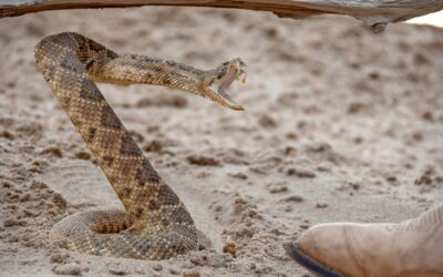 What's a Safe Distance to Keep Away From a Rattlesnake?
