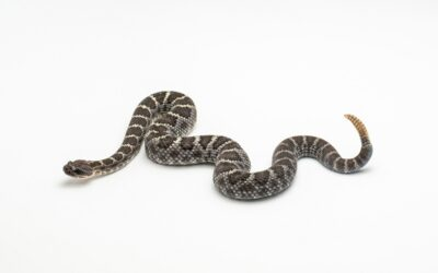 What To Do If You're Bitten by a Rattlesnake?